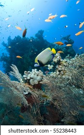 Tropical Emperor angelfish (Pomacanthus imperator). Temple, Sharm el Sheikh, Red Sea, Egypt.