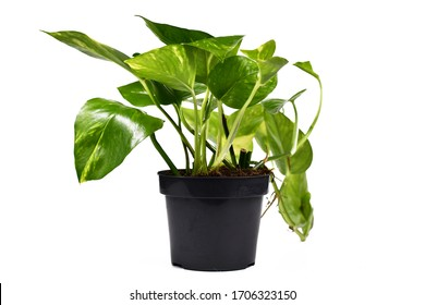 Tropical 'Epipremnum Aureum Golen Pothos' house plant in flower pot isolated on white background