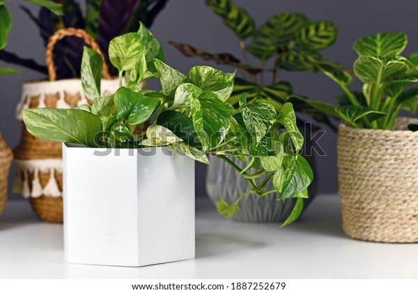 Tropical 'Epipremnum Aureum Marble Queen' pothos houseplant with white variegation in flower pot in front of other plants