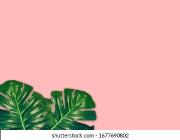 the tropical evergreen vine isolated on pink background.Flat lay