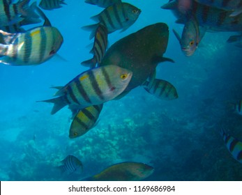Tropical exotic fish abudefduf sexfaciatus moving over the reef underwater of Red sea