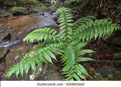 Tropical fern and river Madagascar