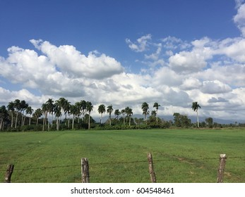 A tropical field with palms trees.