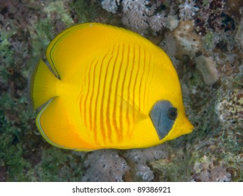 Tropical fish - Bluecheek butterflyfish