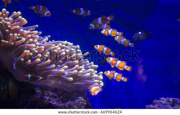 Tropical fish Clownfish in the Aquarium of Barcelona