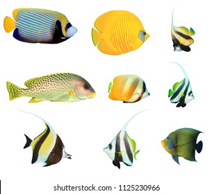 Tropical fish collection isolated. Emperor Angelfish, Blue-cheek Butterflyfish, Bannerfish, Sweetlips, Moorish Idol, Koran angelfish