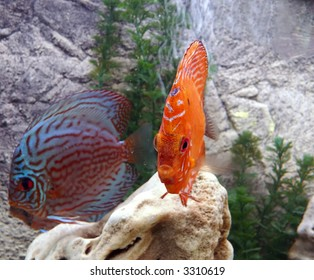 tropical fish, coral red blue underwater reef