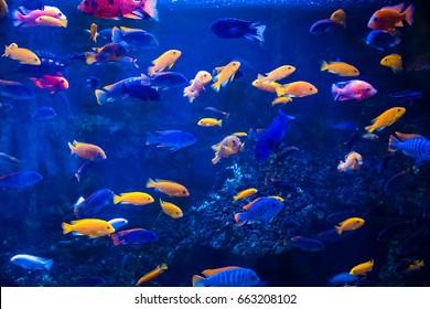 Tropischer Fisch mit Korallen und Algen in blauem Wasser. Schöner Hintergrund der Unterwasserwelt.