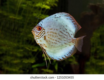 Tropical fish  discus in natural ecosystem of freshwater aquarium, on green background of freshwater plants.
