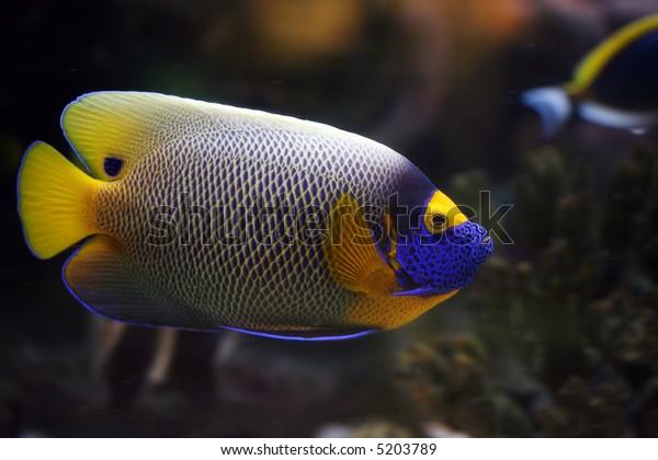 the tropical fish floats in the aquarium