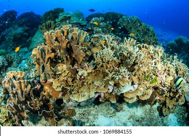 Tropical fish and hard corals on a coral reef system in Thailand