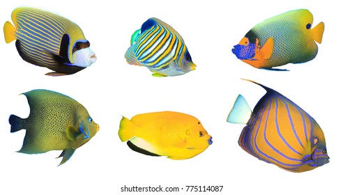 Tropical fish isolated on white background. Angelfish: Emperor, Regal, Yellowmask, Koran, Threespot and Bluering Angelfishes