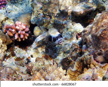 Tropical fish on the coral reef in Red Sea; Egypt