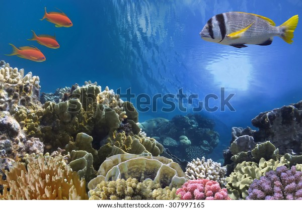 Tropical Fish on Coral Reef in the Red Sea.