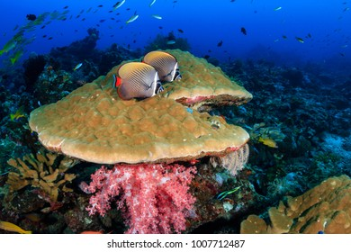 Tropical fish on top of a large hard coral on a coral reef in Thailand