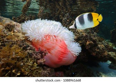 A tropical fish Pacific double-saddle butterflyfish with a Magnificent sea anemone underwater, Pacific ocean, Polynesia, American Samoa