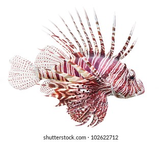 Tropical fish - The Red Lionfish (Pterois volitans) is very dangerous coral reef fish. Lionfish venomous dorsal spines are used for defense.