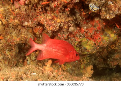 Tropical fish: red Tailspot Squirrelfish