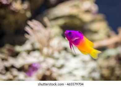 Tropical fish Royal Gramma Basslet