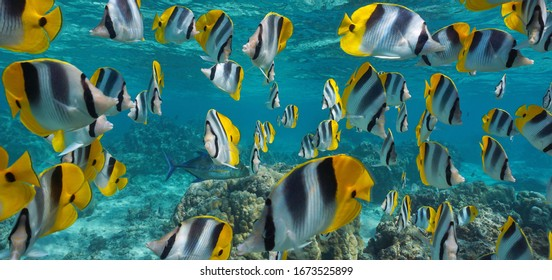 Tropical fish school underwater, Pacific double-saddle butterflyfish, Pacific ocean, French Polynesia