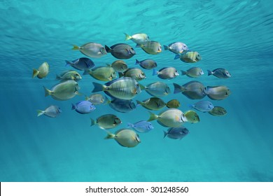 Tropical fish schooling (doctorfish and surgeonfish) below ripples of water surface in the ocean
