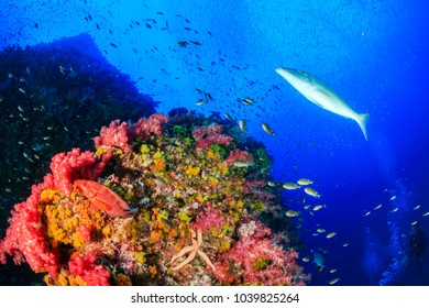 Tropical fish swarm around a brightly colored, healthy tropical coral reef (Richelieu Rock, Thailand)