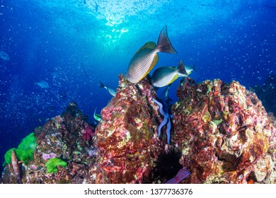 Tropical fish swimming around a beautiful tropical coral reef