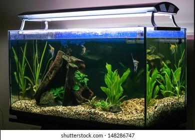 Tropical fish swimming in lighted aquarium or fish tank.