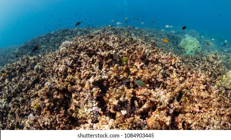 Tropical fish swimming over a dead, bleached coral reef
