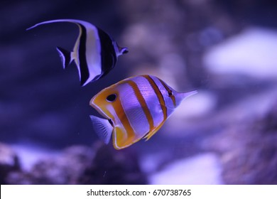 Tropical Fish in Sydney Sea Life Aquarium