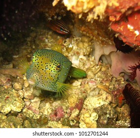 Tropical fish under the sea is among colorful corals in the Philippines.