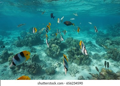 Tropical fishes underwater in a lagoon of a French Polynesian island, Pacific ocean