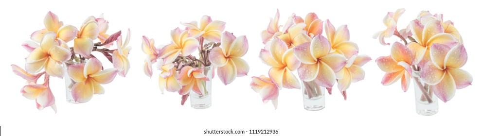 Tropical flower, Close up of pink / yellow Plumeria or Frangipani (Hawaii, Hawaiian Lei Flower, Bali Indonesia, Shri-Lanka, Spa) Pink Frangipani flowers isolated on white background with clipping path