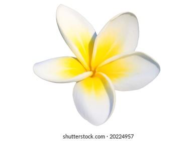 Tropical flower frangipani isolated on white background