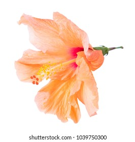 tropical flower, orange hibiscus flowers isolated on white background
