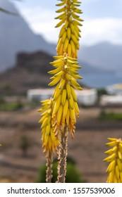 Tropical flower Red Hot Poker, Kniphofia uvaria or Tritoma