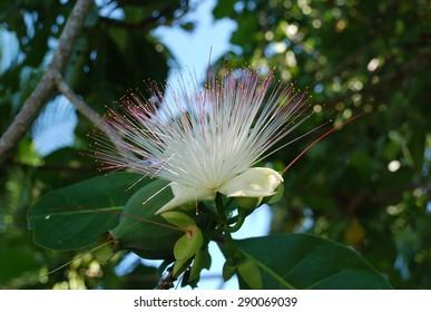 Tropical Flower, Seychelles