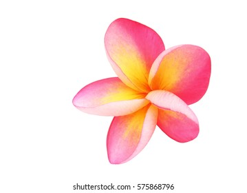 tropical flowers frangipani or pink plumeria flowers isolated on white with clipping path.