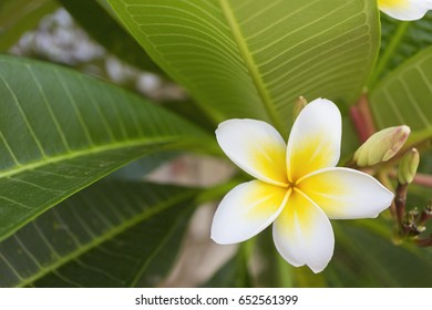 Tropical flowers frangipani or plumeria close-up on tree background