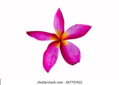Tropical flowers frangipani (plumeria) isolated