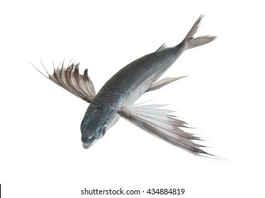Tropical flying fish isolated