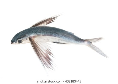 Tropical flying fish isolated on white background