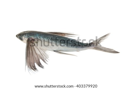 tropical-flying-fish-isolated-on-450w-40