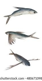 Tropical flyingfish collection