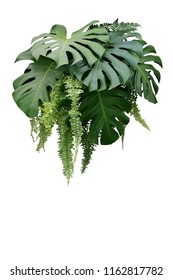 Tropical foliage plant bush of Monstera and hanging fern green leaves floral arrangment nature backdrop isolated on white background, clipping path included.