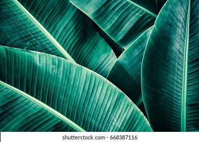 tropical foliage texture, large palm leaf nature green background
