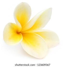 Tropical Frangipani over white background