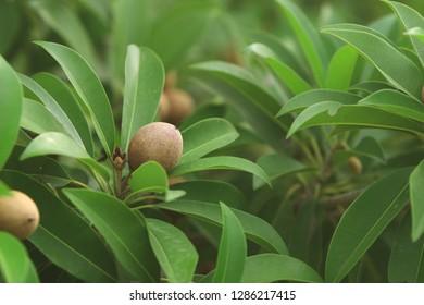 Tropical fresh fruit sapota on tree branch