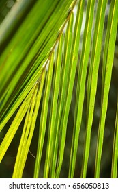 Tropical Fresh green coconut leaves texture,