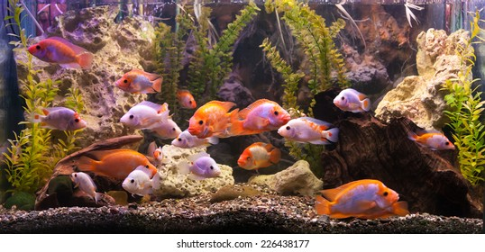 Tropical freshwater aquarium with big red fish